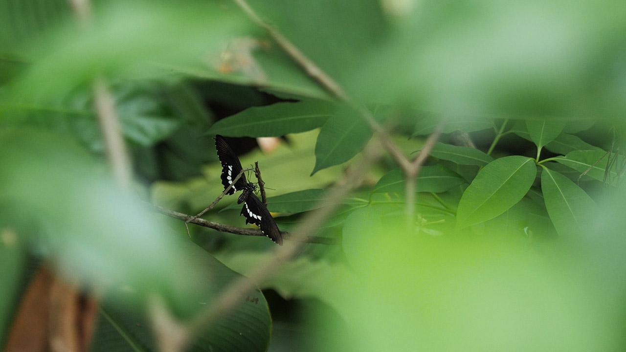 Schmetterling im Butterflypark auf der Freizeitinsel Sentosa in Singapur