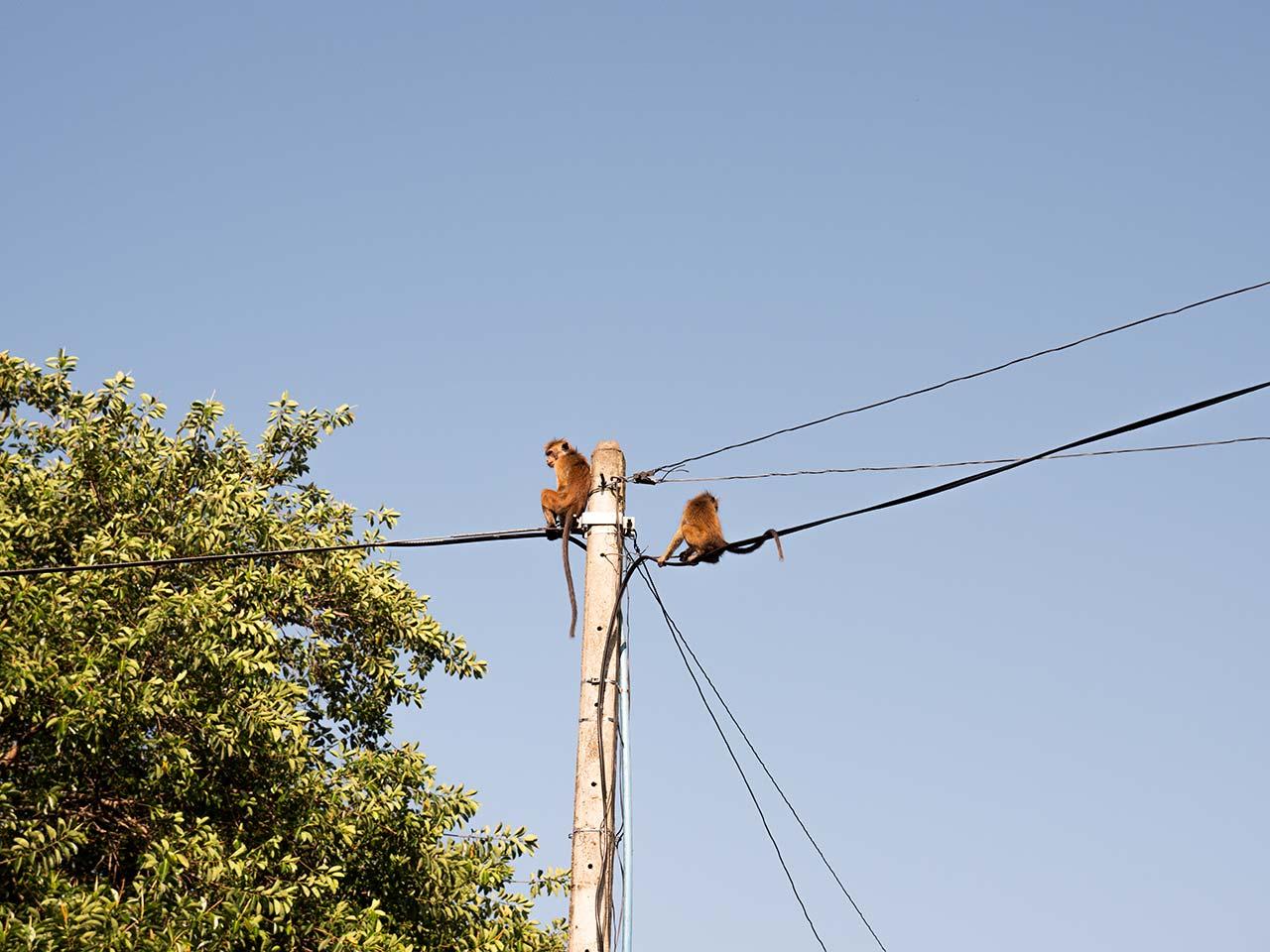 Affen auf einer Stromleitung in Kandy, Sri Lanka