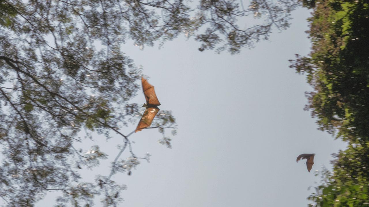 Flughunde fliegen von Baum zu Baum in Kandy, Sri Lanka