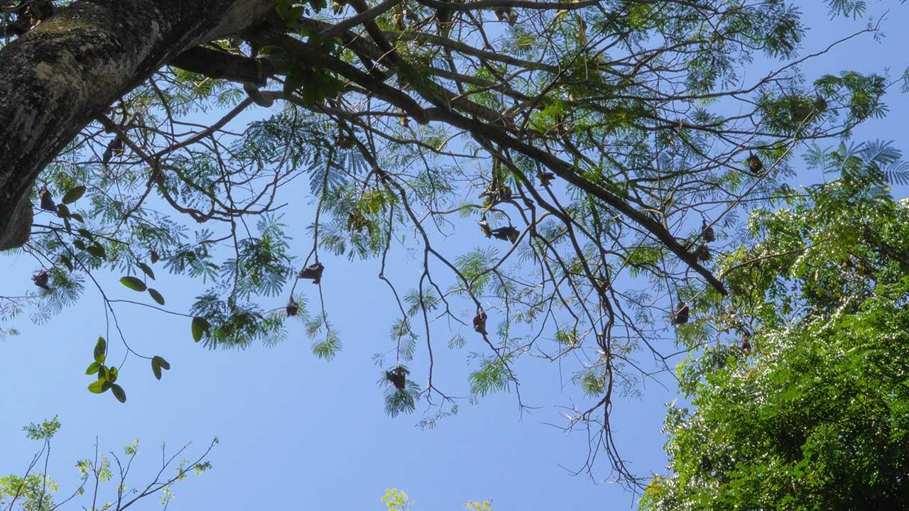 Ein Baum voller Flughunde im Botanical Garden in Kandy, Sri Lanka