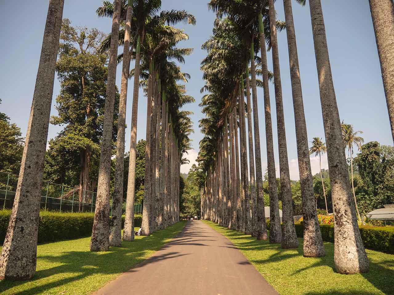 Palmenallee im Botanical Garden in Kandy, Sri Lanka