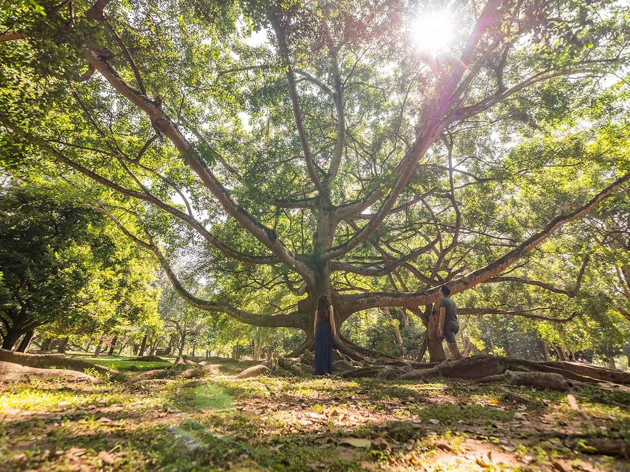 Riesige Bäume im Royal Botanical Garden in Sri Lanka