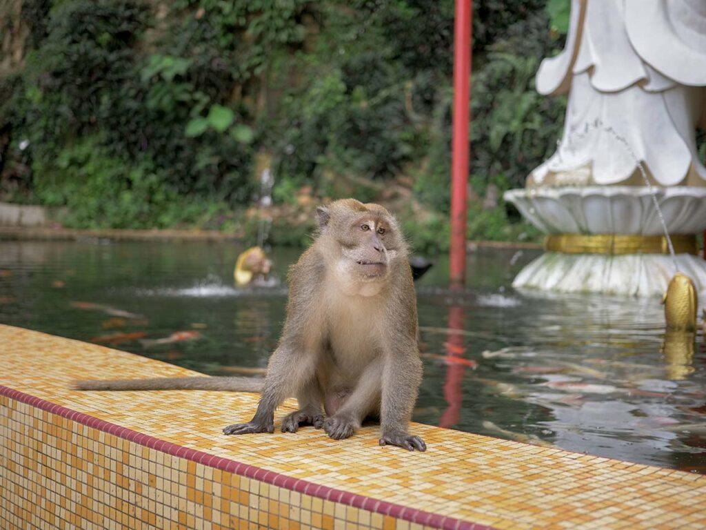 Ein Affe vor dem Kek Lok Tong Tempel in Ipoh