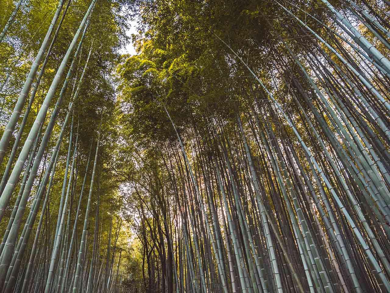 Arashiyama Bambuswald in Kyoto Japan