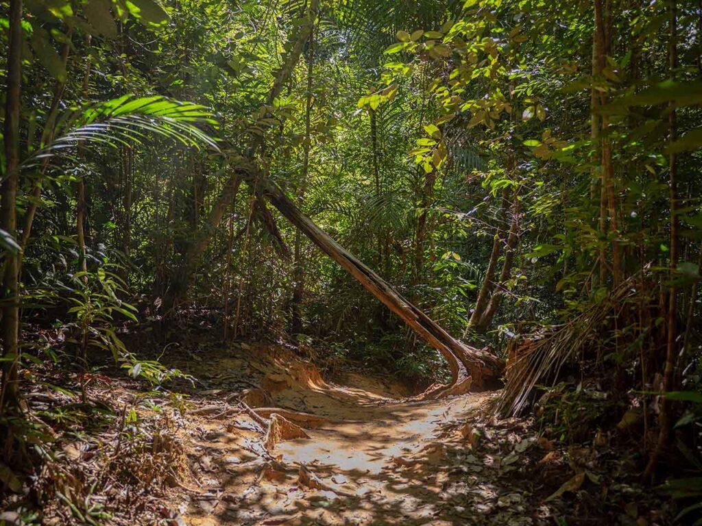 Ein umgefallener Baum auf dem Weg im Taman Negara Nationalpark