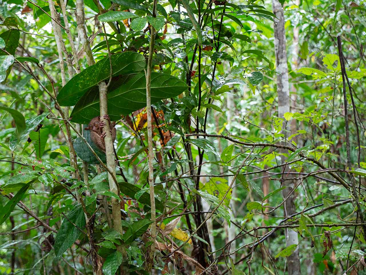 Tarsier im Baum