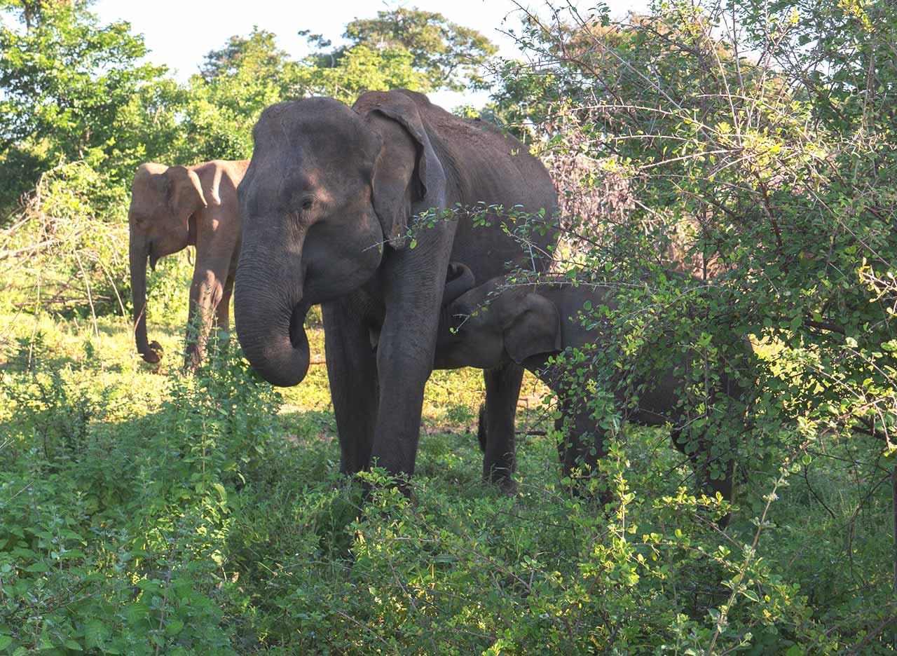 Elefanten Baby mit Mama im Udawalawe Nationalpark