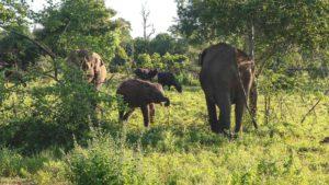 Safari im Udawalawe Nationalpark - Erfahrungen mit Elefanten
